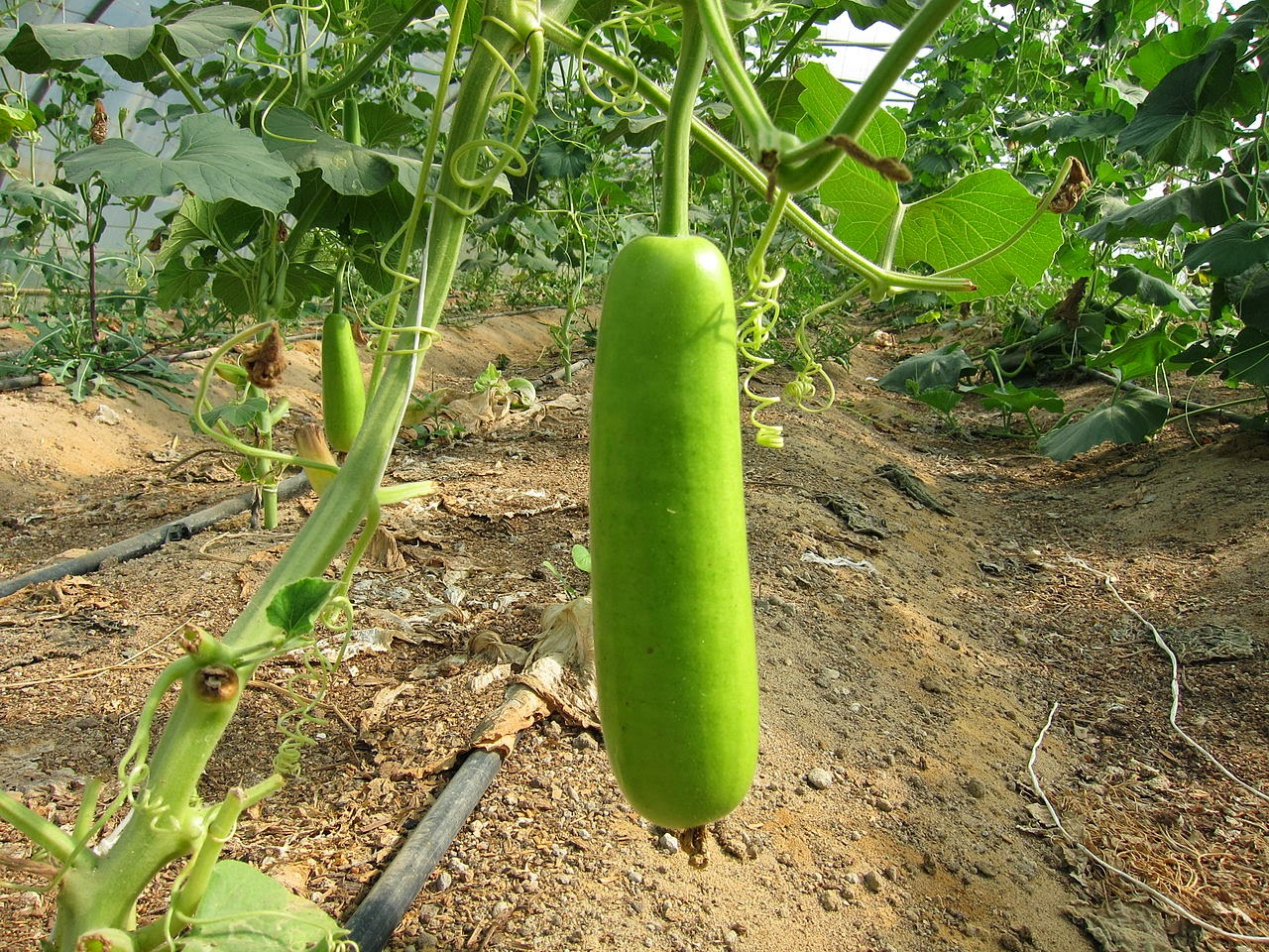Cure Hemorrhoids with Bottle Gourd