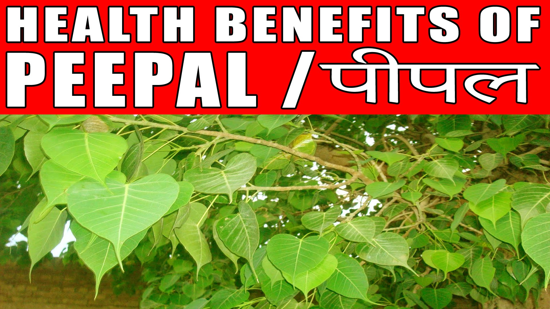 Peepal benefits in hindi