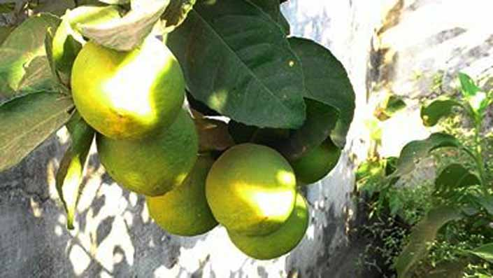 Put-lemon-tree-in-Garden