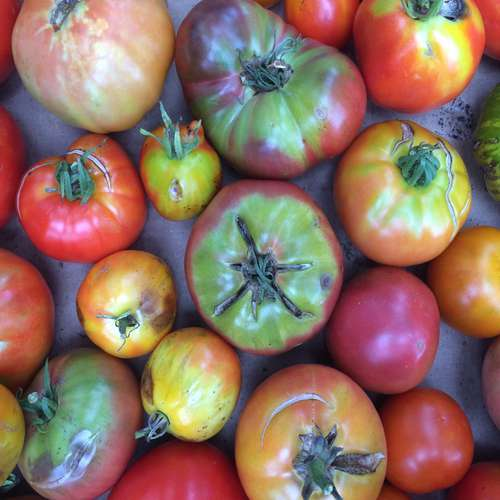 We-can-use-reject-tomatoes-to-generate-electricity