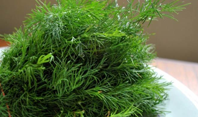 dill leaves - India TV